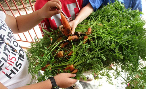 Photo of student's processing organic carrots grown in FMS's school garden.