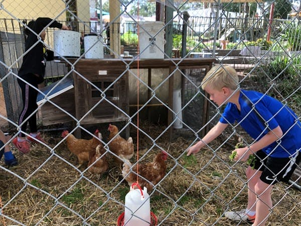 Primary - caring for our chickens